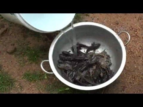 VIDEO de la LLUVIA de PECES VIVOS en Sri Lanka 2014 FISH RAIN