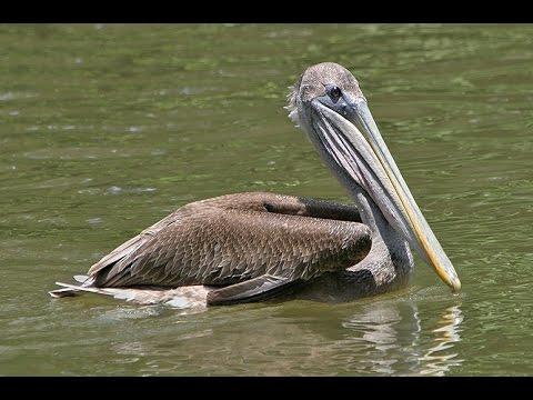 Pelicans - SeaWorld