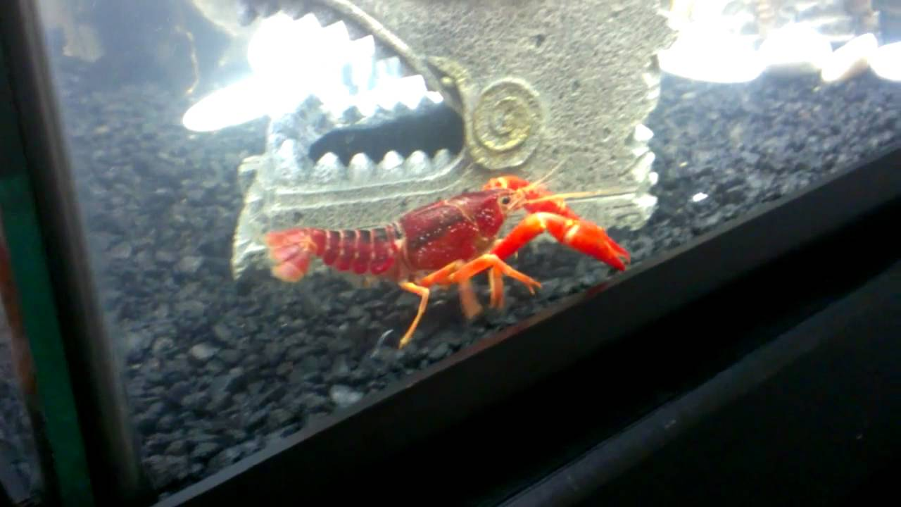 my pet red lobster   youtube