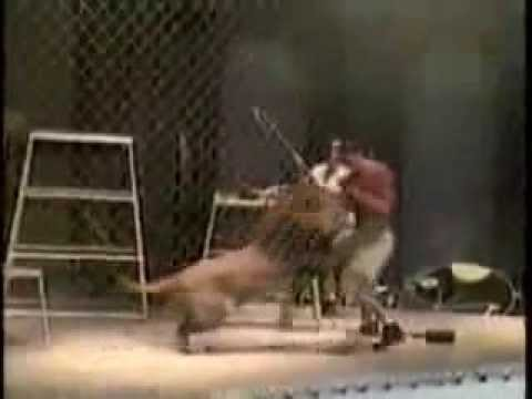 lion attack trainer - accident  [Documentary Animal and Nature ]