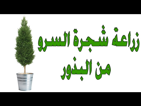 زراعة شجرة السرو  ( 1 ) thumbnail