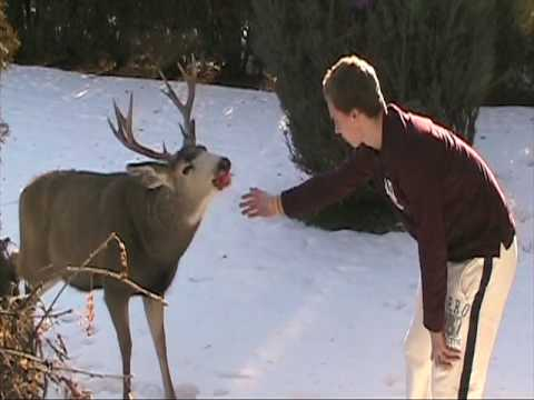 Feeding a Deer / Buck apples in our front yard-Hollister
