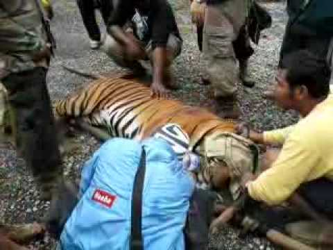 Snared tiger rescued in Belum Temengor