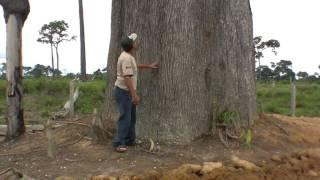 download musica Árvores da Amazônia - Castanheiras do Pará gigante Nova Bandeirantes MT