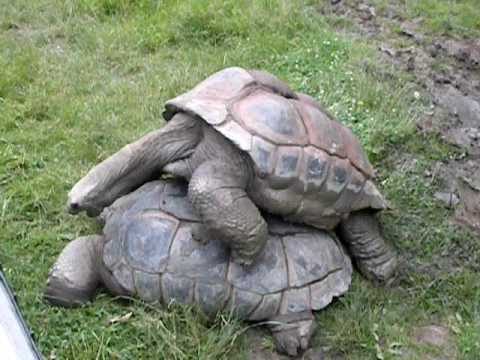 Giant Tortoise Sex
