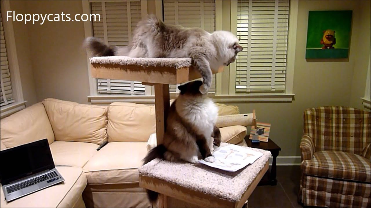 Ragdoll Cats Receive Cat Power Tower Modern Cat Tree For