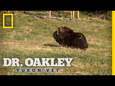 Checking on a Muskox | Dr. Oakley, Yukon Vet
