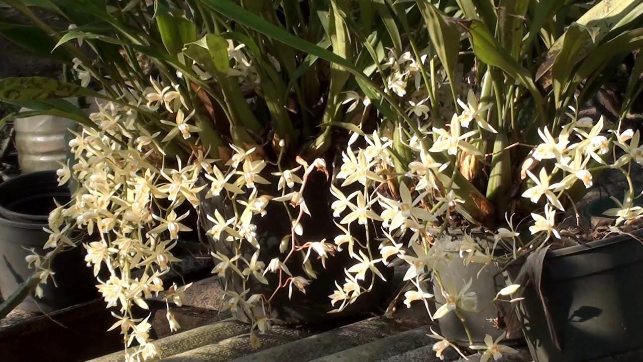 Orquidea Coelogyne Cristata Orquídeas Coelogyne Flaccida