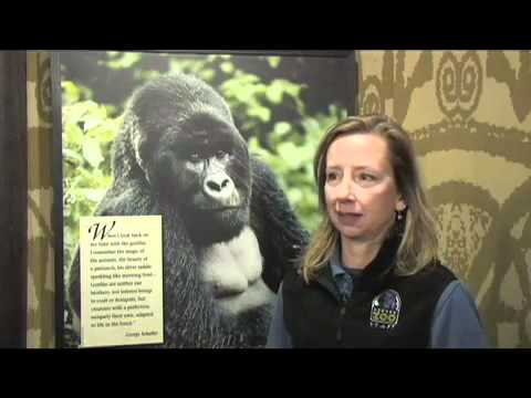 Denver Zoo Supports Gorilla Heart Health