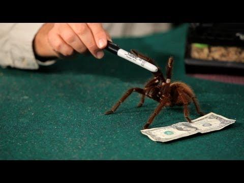Are Tarantulas Poisonous? | Pet Tarantulas