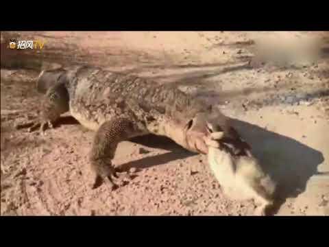 巨蜥蜴發現垃圾桶裏有隻兔子開心死了,直接吞了連毛都沒留下!.mp4.mp4