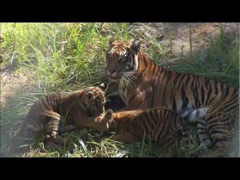 Tiger Cubs Debut at the Safari Park