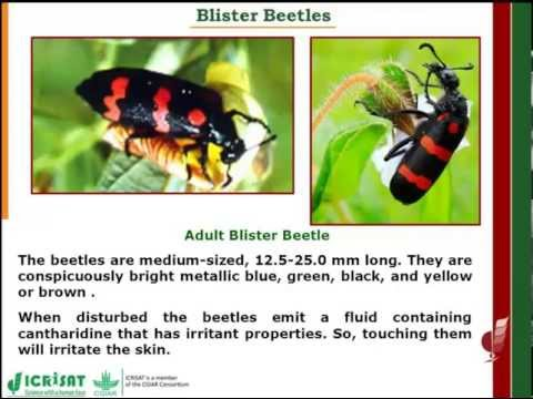 Blister beetle in Sorghum
