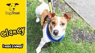 Clancy is a Super Handsome, Playful Jack Russell Terrier! | Dogs Trust Manchester