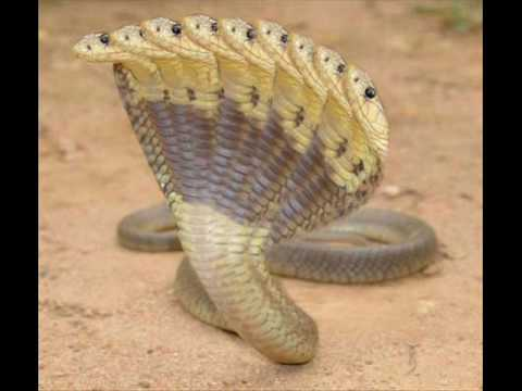 Ten headed cobra