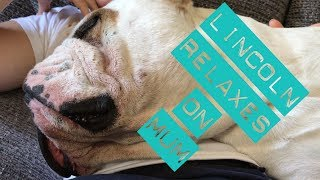 Lincoln relaxes by lying across his Mum | ENGLISH BULLDOG