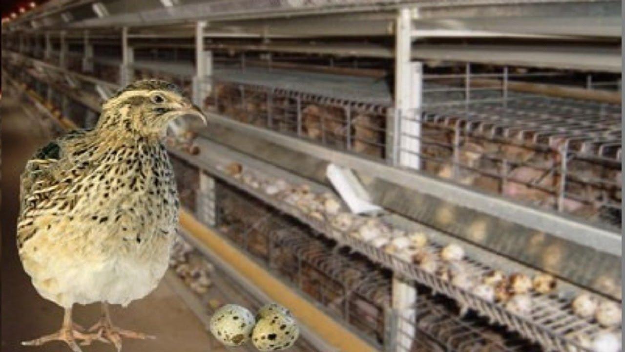 Промышленное птицеводство в домашних условиях - ч.1 83