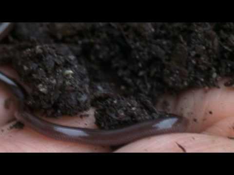 Blind Snake Pet The Brahminy Blind Snake