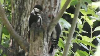 Female woodpecker feeding male baby.