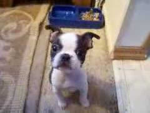 Boston Terrier Show Dog