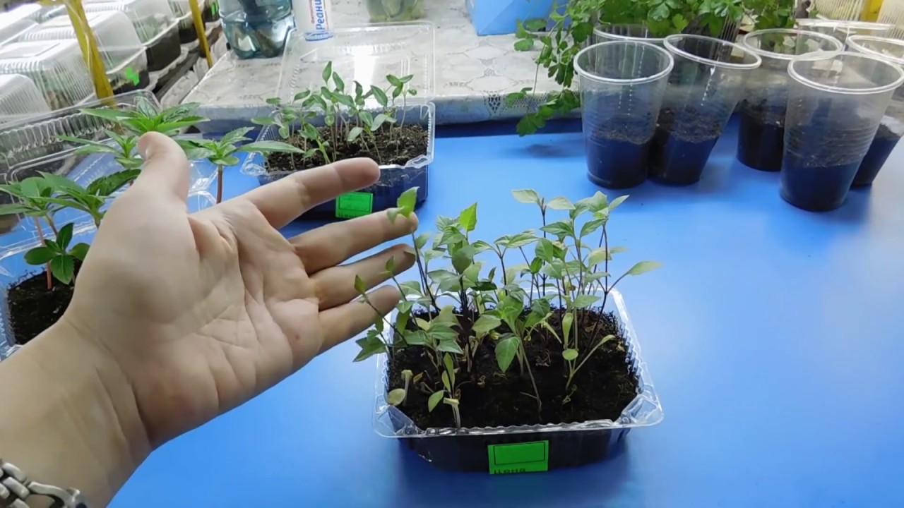 Выращивание георгинов из семян 662