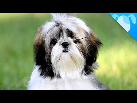 Shih Tzu Facts