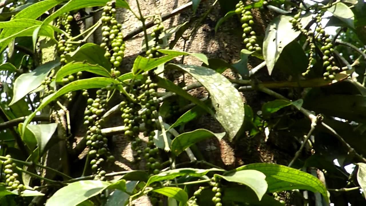 Black Pepper Seed Black Pepper Plant Piper
