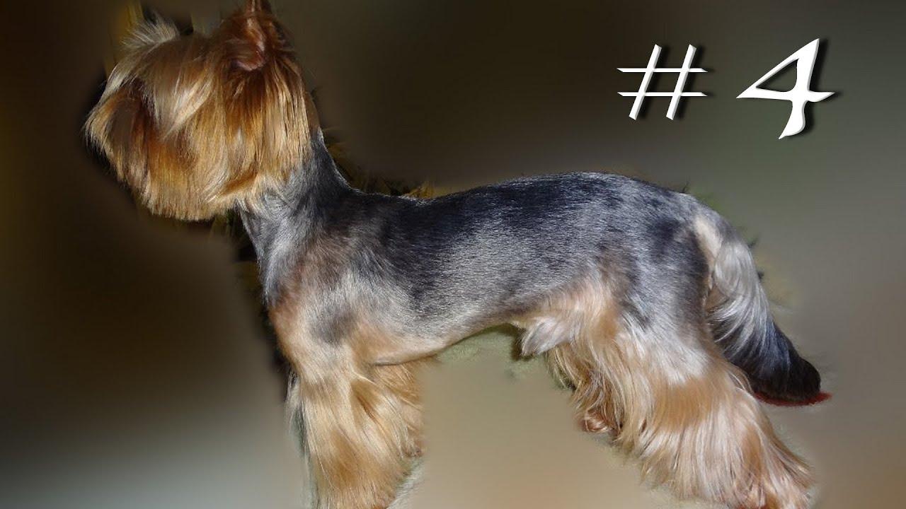 Adult dog yorkshire terrier