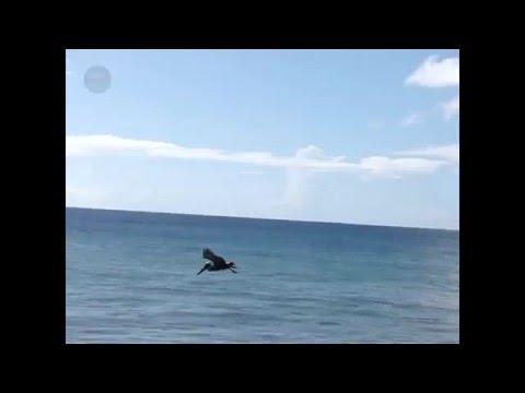 Pelican Hunt - Caribbean Classifieds