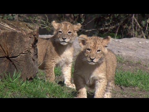 Erster Ausflug der Löwenbabys