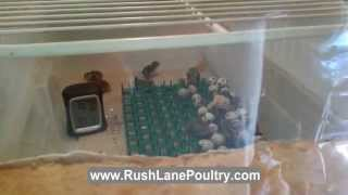 Texas A&M and Jumbo Coturnix Quail Test Hatch!