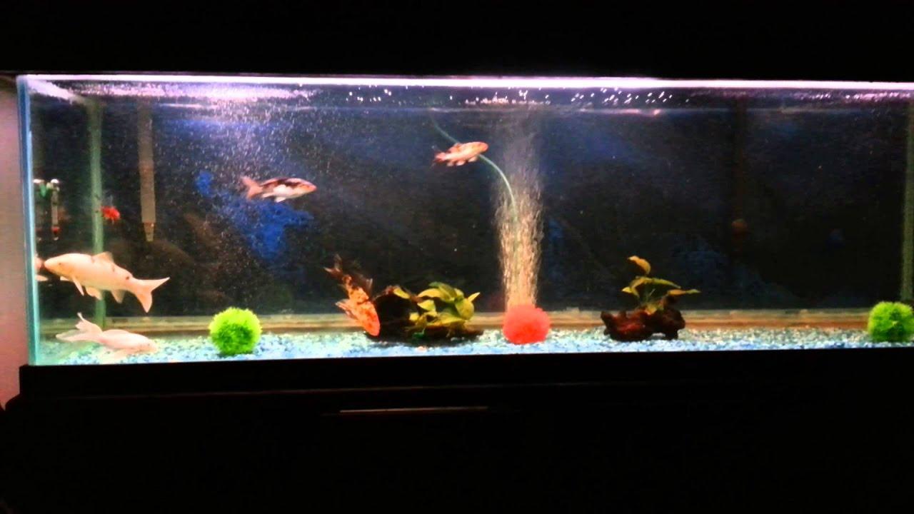 Koi fish tank youtube for Reproduction carpe koi aquarium