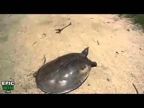 Tortuga - La tortuga veloz
