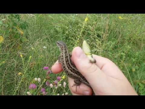 видео про как ловить ящериц