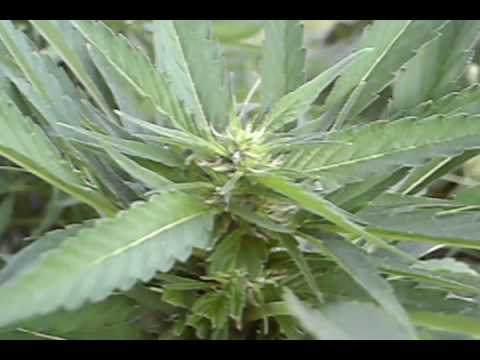 reggie weedplant flowering outdoors prt.2
