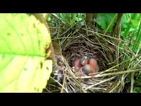 Гнездо с птенцами.