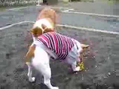 Goro@Welsh corgi 20061024 Jack Russell Terrier 3