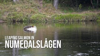 Leaping salmon in Numedalslågen