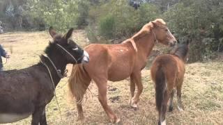 Burro con caballo