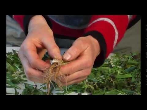 Wildkräuter Und Essbare Heilpflanzen: Löwenzahn