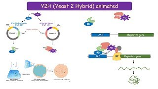 Yeast 2 Hybrid (Y2H) system: protein protein interaction technique