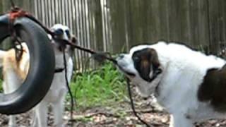St. Bernard Dog: Big Bo and Jack