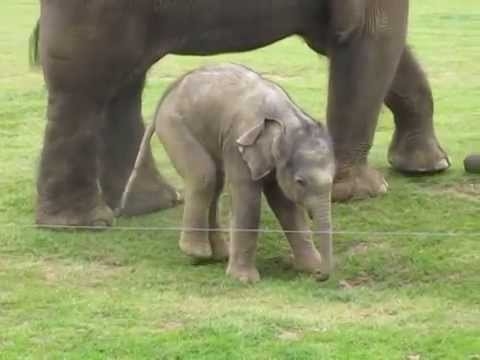 Cute baby elephant s first steps -and steps on his trunk! Hilarious video!