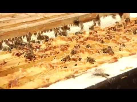 Bees' Bacteria May Replace Antibiotics