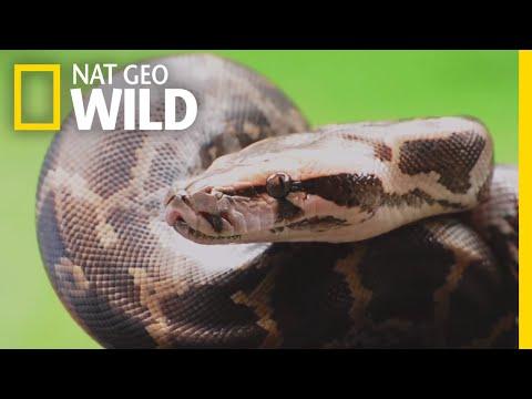 Pythons 101   Nat Geo Wild