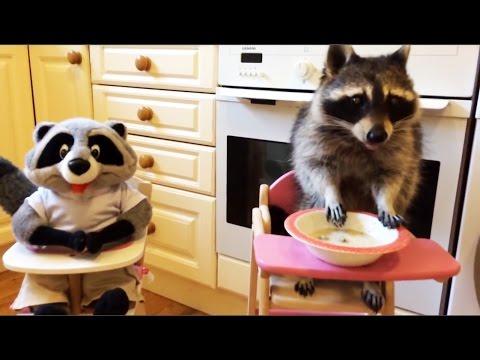 ТОП 5 Лучшие видео с енотами. Смешной енот.