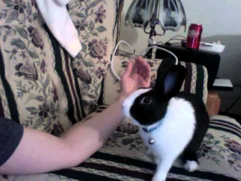 Dutch Rabbit Mating Dance