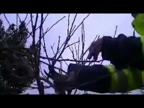 Pommier videolike - Comment tailler un pommier ...