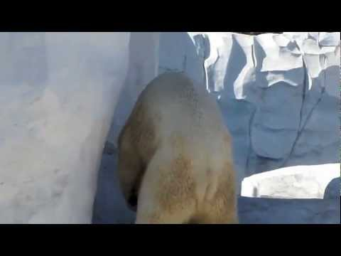 Polar Bear Porno  The Detroit Zoo video