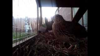 video#1 Suma acting like a Rooster when the sun comes up